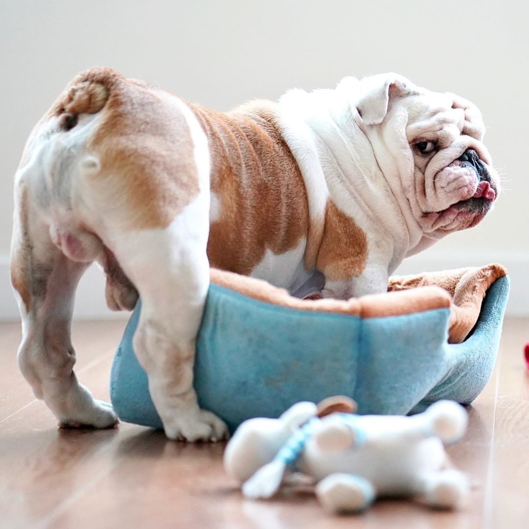 Remember, you're only young once, but you can be immature forever   #Bulldogs #englishbulldog #bulldogsoftwitter #bulldogworldwoide #bulldogpuppies #me pic.twitter.com/JCuKWCZPFO