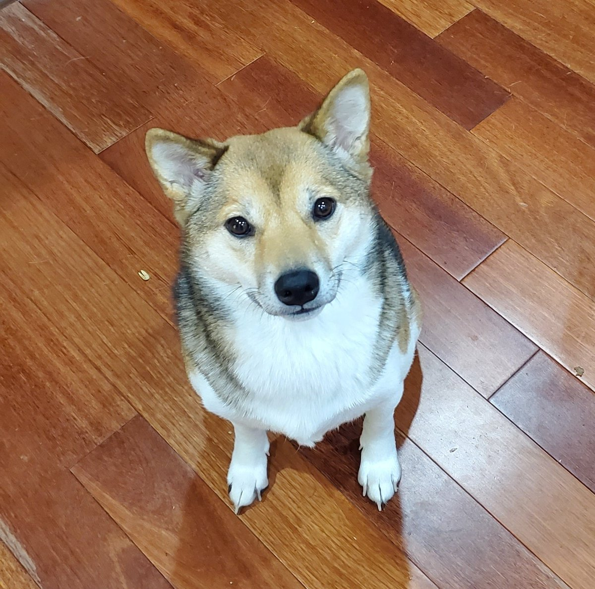 I left for 30 minutes. She was so distraught she pulled apart 3 skeins of yarn and chewed on a cushioned crochet hook.   #shiba #doggopic.twitter.com/GP6gFBa5G7