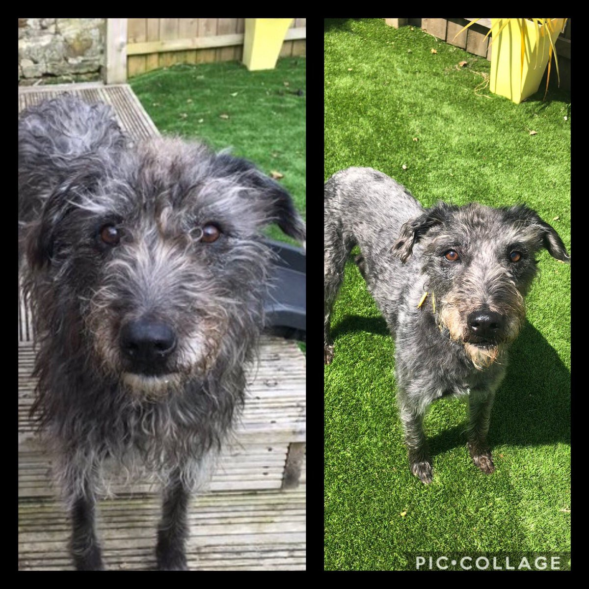 Brodie  has had a hair cut! Isn't he handsome! Here is a before and after picture... we know he will be feeling a lot cooler now ... #newhairday #handsome #dogstrust #DogsofTwittter #dogsofinstagrampic.twitter.com/ZhRrkv7Q0U