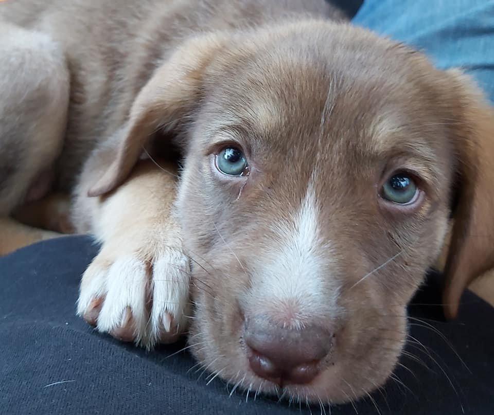 SOS......Δεν μπορώ δυστυχώς να την κρατήσω έχω 10 σκυλιά..... θα την φάνε. Εμβολιαστικε αποπαρασιτοθηκε και πήρε χάπι για τα σκουλήκια. Απο Δήλεσι,η κουταβινα είναι 2 μηνών περίπου θα γίνει περίπου στα 15 κιλα Τηλ. 6981186411