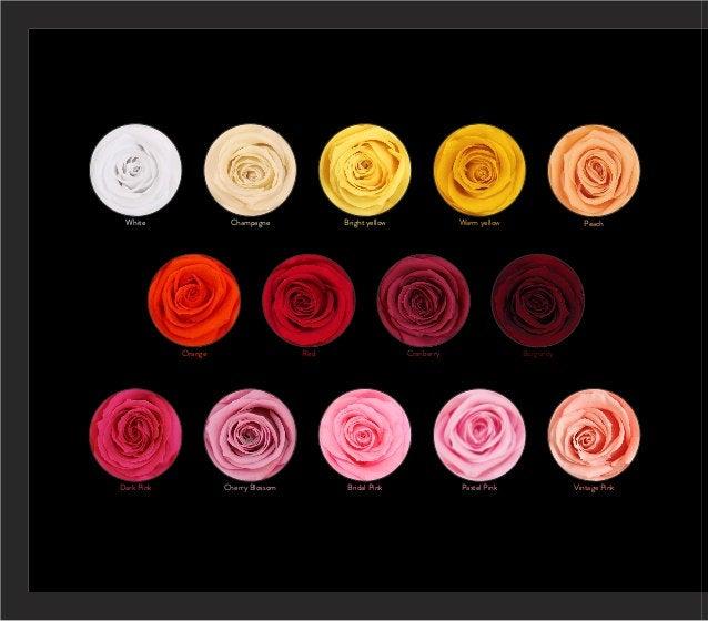 Excited to share the latest addition to my #etsy shop: Preserved roses etsy.me/3gOM6NY #wedding #independenceday #preservedflower #ecuadorianroses #foreverrose #preservedrosesale #wholesaleroses #preservedroses #everlastingroses #bestpreservedroses