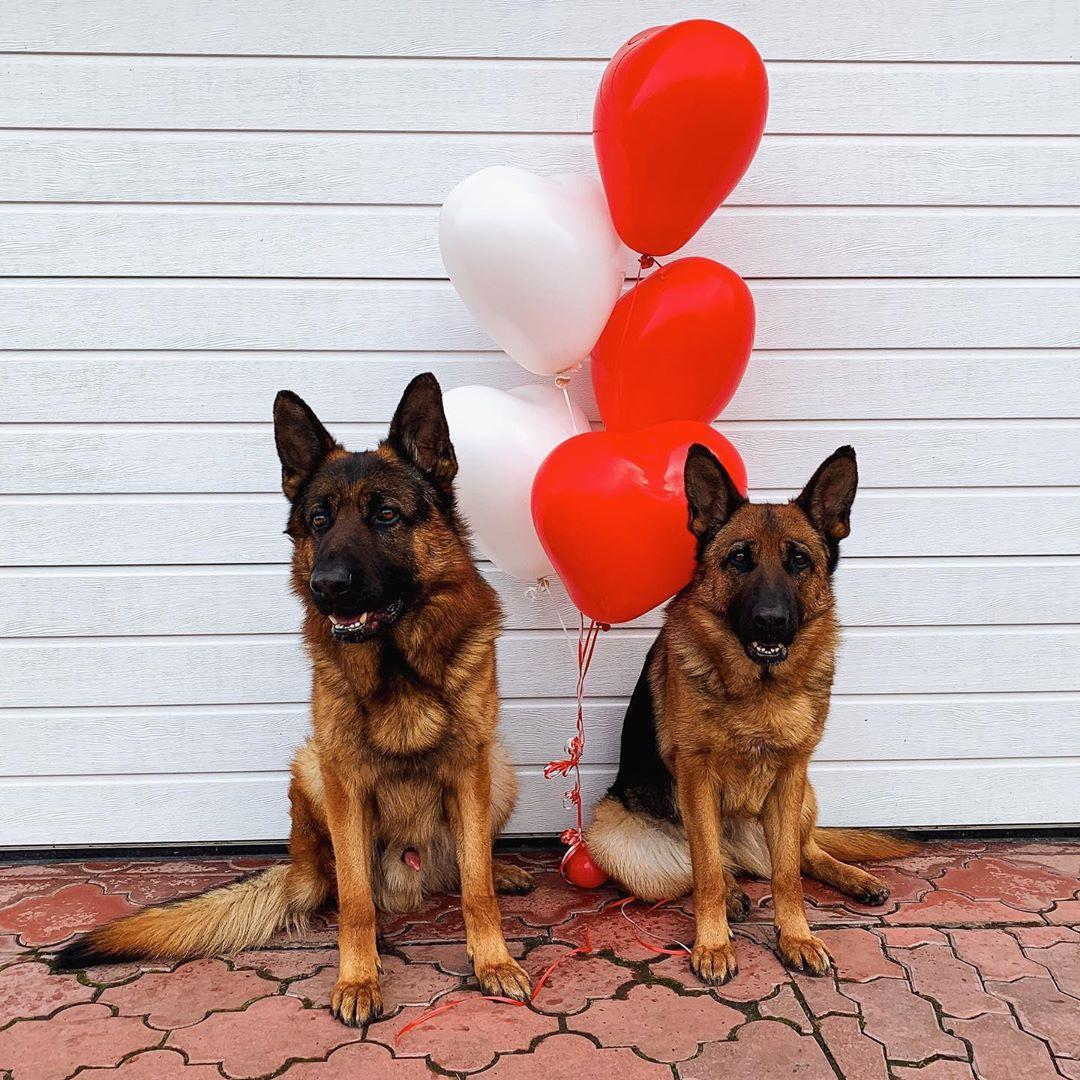 Love and be loved!   #gsd #germanshepherd #gsdofinstagram #dogsofinstagram #dog #puppyeyespic.twitter.com/LomvjTjvyM