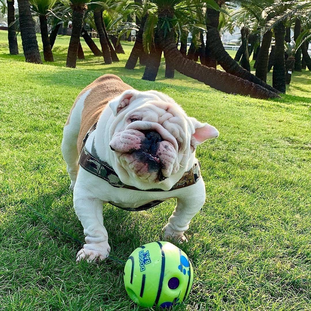 Shake it off   #Bulldogs #englishbulldog #bulldogsoftwitter #bulldogworldwoide #bulldogpuppies #me pic.twitter.com/jaQ04suR1y
