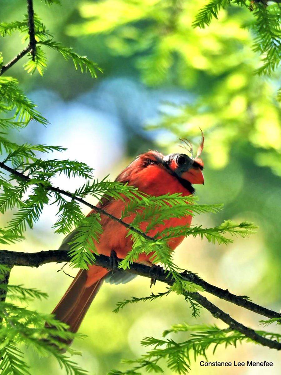 Northern Cardinal male ugly molting - poor guy #Cincinnati