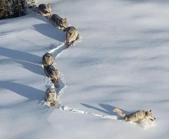 The pack arrives at the call of the male alpha. #photos #animals #wolfs #packspic.twitter.com/i25148OnRZ