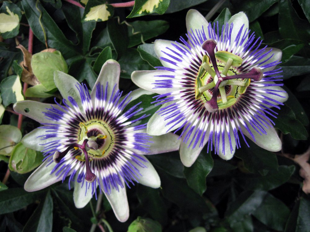 Passion Flower in the greenhouse. #gardens #flowers #plants #horticulture #gardening #NaturePhotography #orchids Photo by Tindara. https://t.co/PytZ9dC8MR