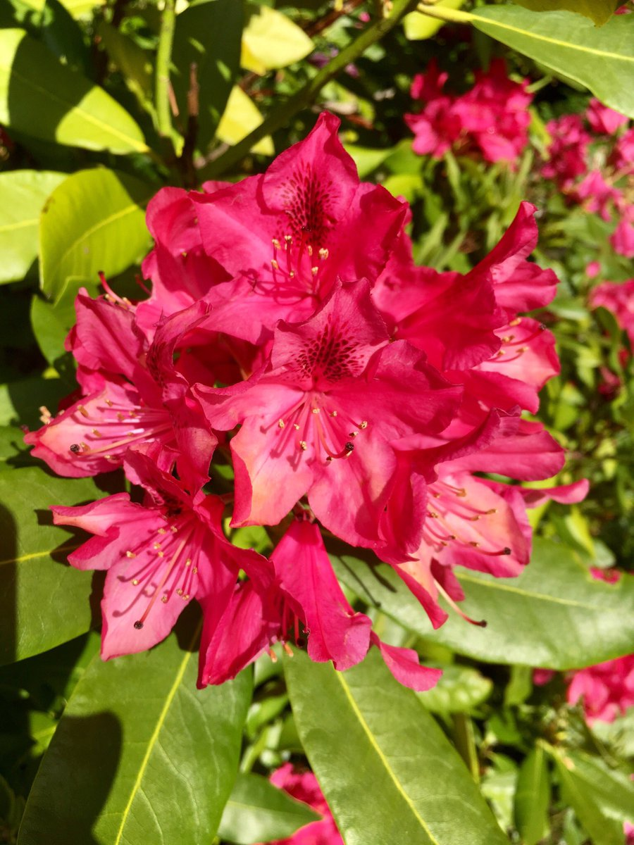Red rhododendrons are finished for the season, but the hot pink and powder pink are still looking snazzy.  #flowers #beauty pic.twitter.com/0ehWy6NBNT