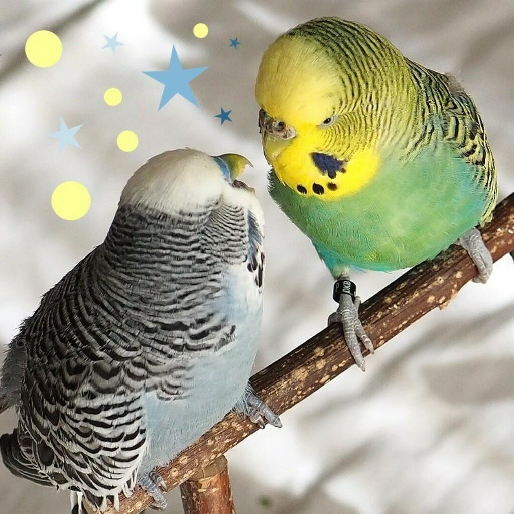 Ich bin so glücklich. Taifun geht es wieder besser. Hier mit seinem Kumpel Olli. * * * * * * * #wellensittich #budgies #picoftheday #birds #birdsofinstagram #instabird #instabirds #wellensittichnet #parakeet #muhabbetkusu #budgielove #muhabbet #budgeriga… https://instagr.am/p/CA3bBzClUQL/pic.twitter.com/M3ptyj5R7G  by Sittiche.de