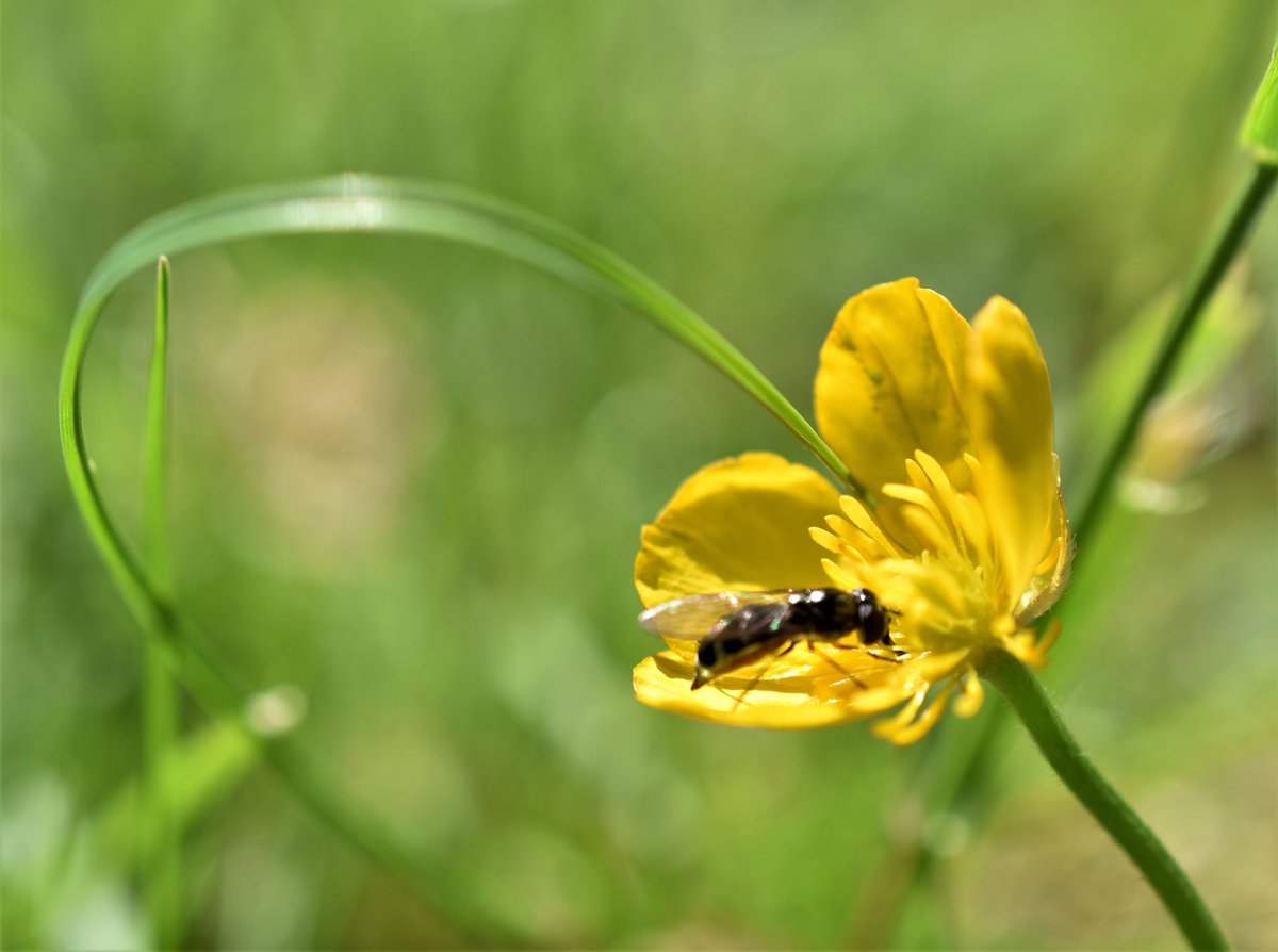 Visiting a buttercup #photography #nature #nikonphotography #insect #TwitterNatureCommunity #buttercup