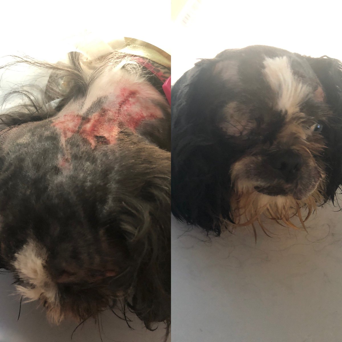 #shihtzusofinstagram #shihtzu My poor Sadie was attacked by the #dobermanpinscher next door. Multiple #puncturewounds, #lacerations, bald spots where her hair was pulled out by the roots, and her right eye was popped out if it's socket. #prognosis is good.pic.twitter.com/0zZW8uxUqA