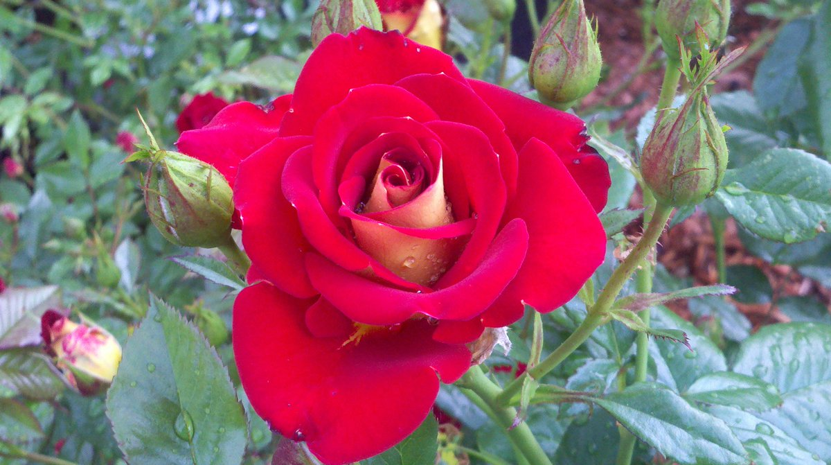#gardens #flowers #plants #horticulture #gardening #NaturePhotography #rose  Photo by Tindara. https://t.co/CyPBfjuknf