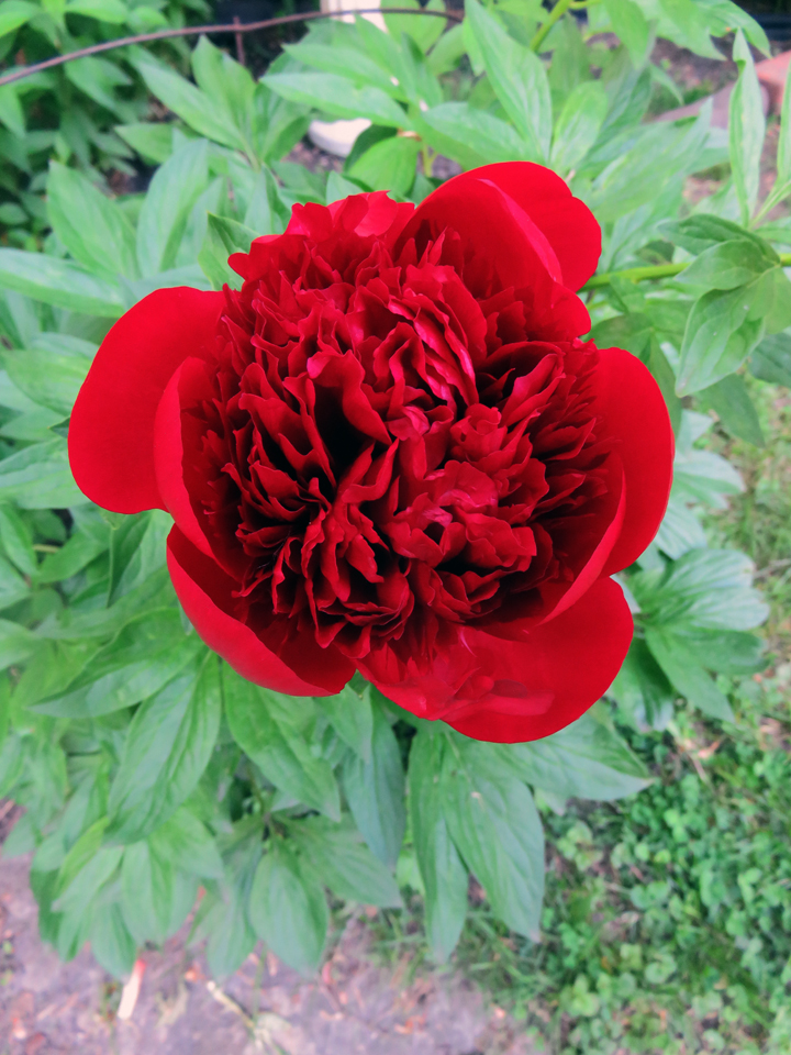 The reddest of red peonies just opened in my backyard pic.twitter.com/FBsY4Xt3Zr