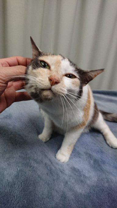 先日ご紹介した、「やすらぎ治療室」の #ミケちゃん ( @ojm52811 )、飼い主さんが最近の写真をたくさん送ってくださいました!#地域猫 さんたちがいつかみんな家族を見つけるときまで、こうやっていろんな人に守られて、優しいかたちで生きていけるいいな、と思います。