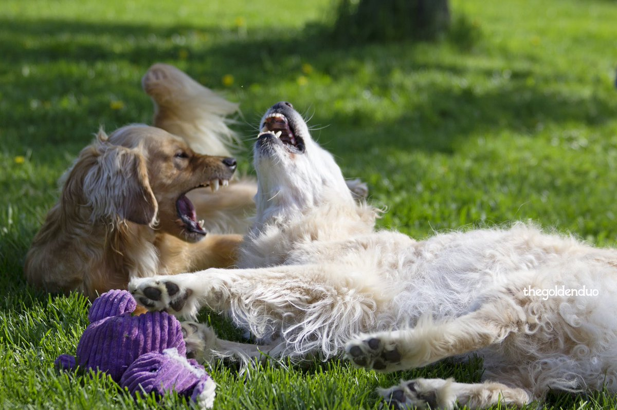 We bitey. 🙊  #GoldenRetrievers #dogsoftwitter #DogLife #RescueDogs #seniordog  @GoldenRescue Zahra #2924 & Genevieve https://t.co/Uf7NTXPmdw