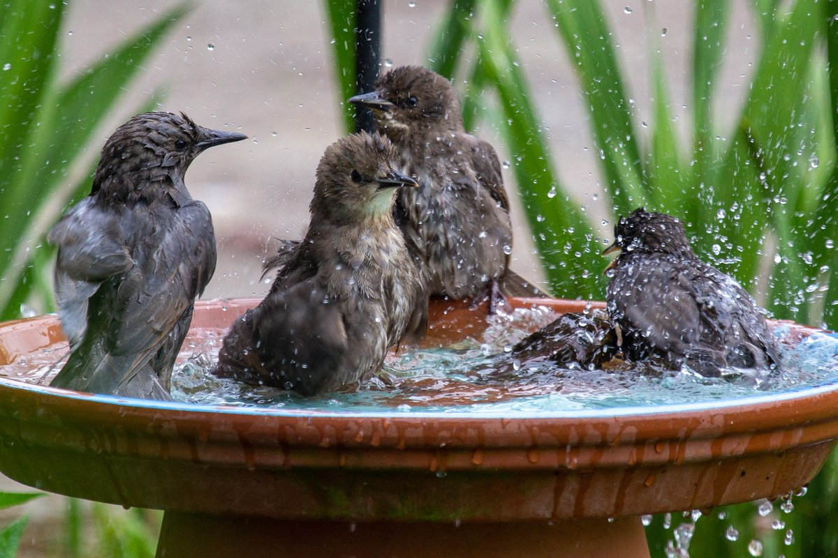 Your daily dose of backyard bird activity. The juvenile European Starlings found the birdbath. All of them. At the same time. Things escalated quickly. #backyardbirds #bathtime pic.twitter.com/3yQf0s2ESu