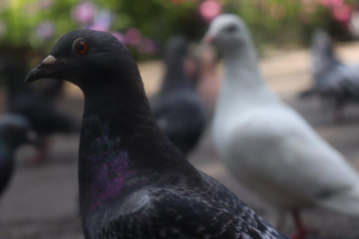 Pigeons 2019 #animals #birds #pigeonspic.twitter.com/FWji4Su60B
