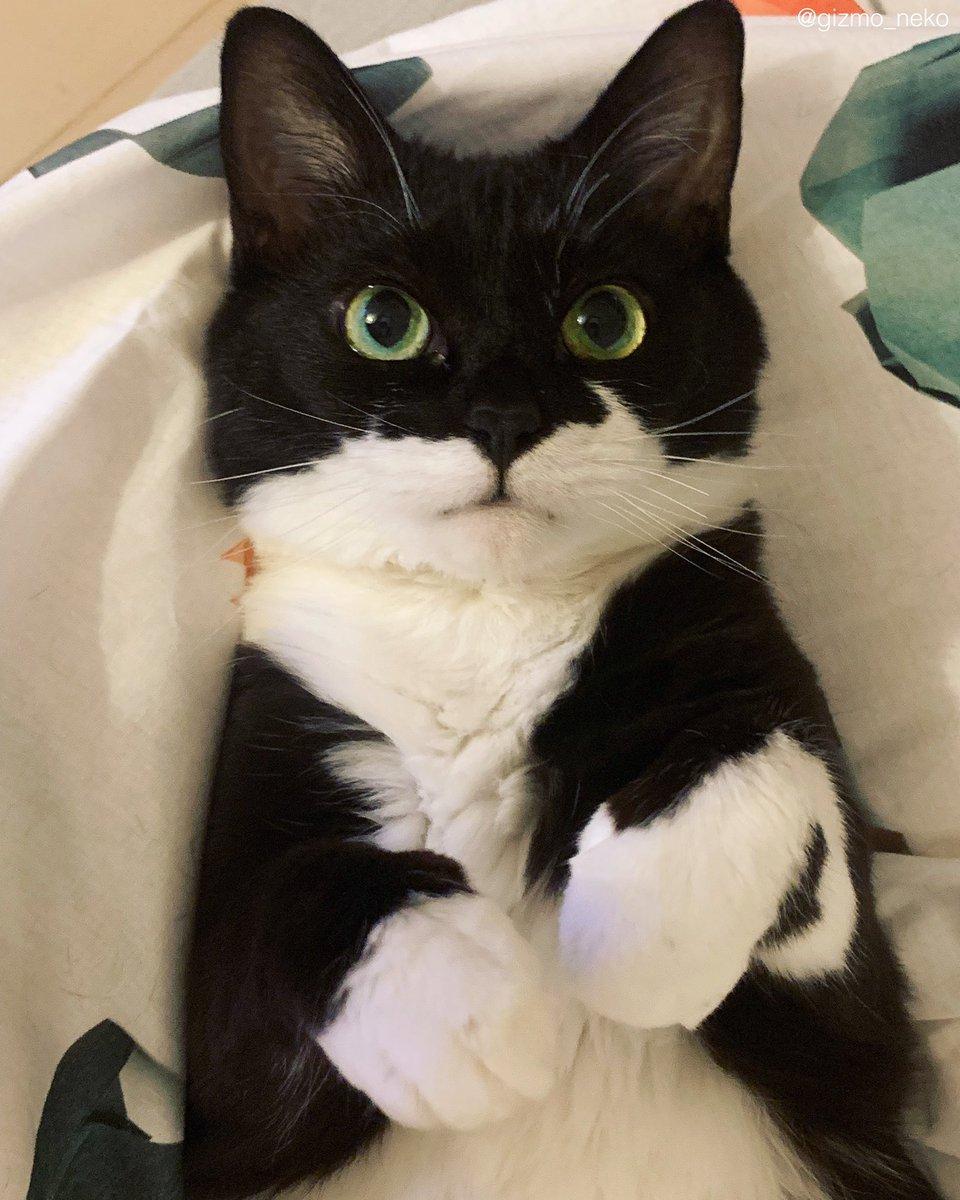 テレワークで1ヶ月近く家に居た結果、いつ何時もお腹さえ出せば撫でてもらえると信じて疑わない猫ができあがりました。