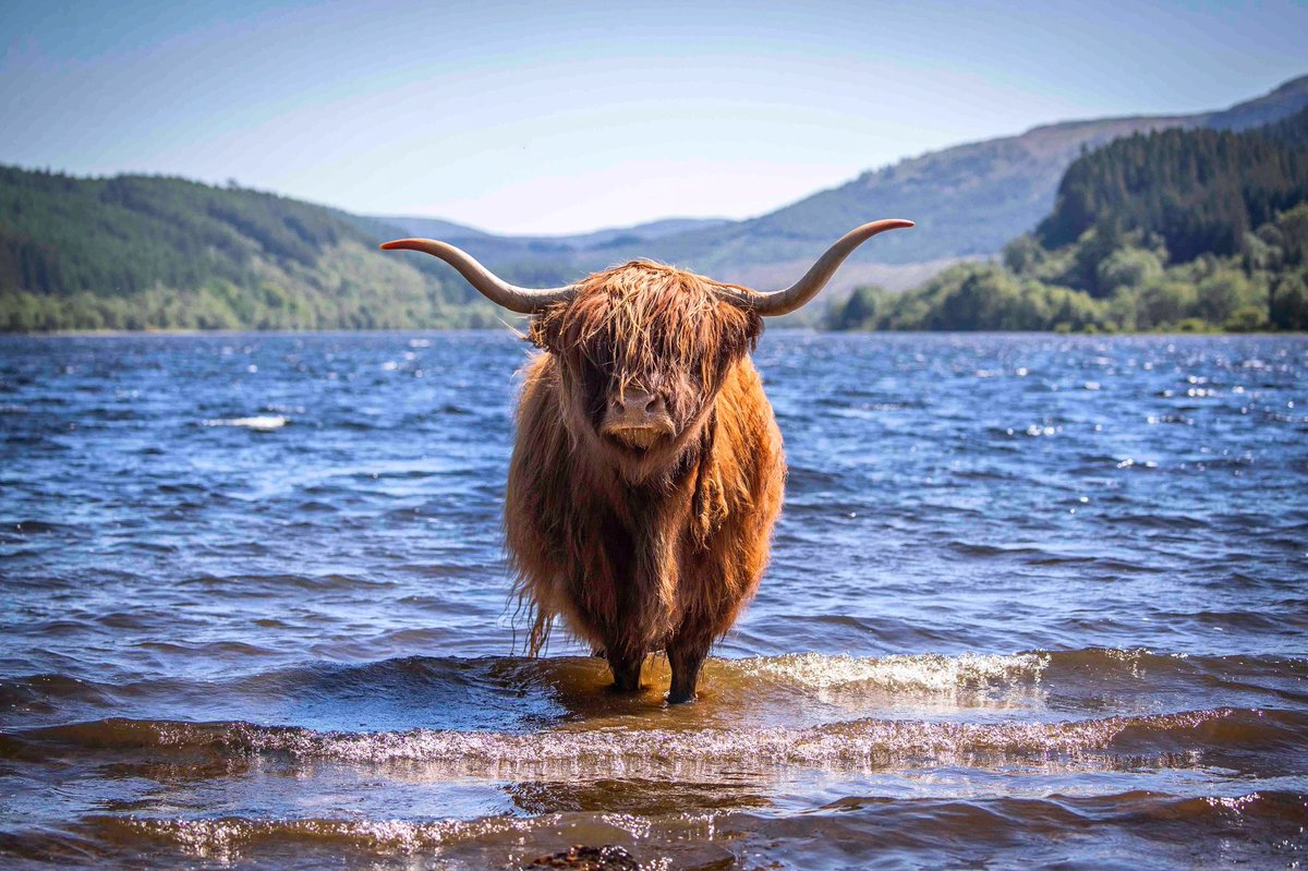 Highland coo cooling off in Loch Lubnaig :: @PAImages : #cow #weather #hot #lochlubnaig #scotland pic.twitter.com/z37RJYdg0D