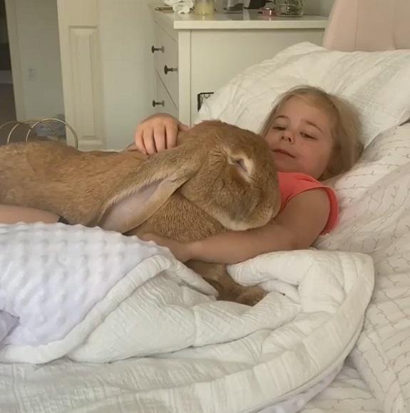 でっかいモフモフウサギと親友の女の子 ベッドで仲良く添い寝する姿がおとぎ話のよう  @itm_nlabzoo