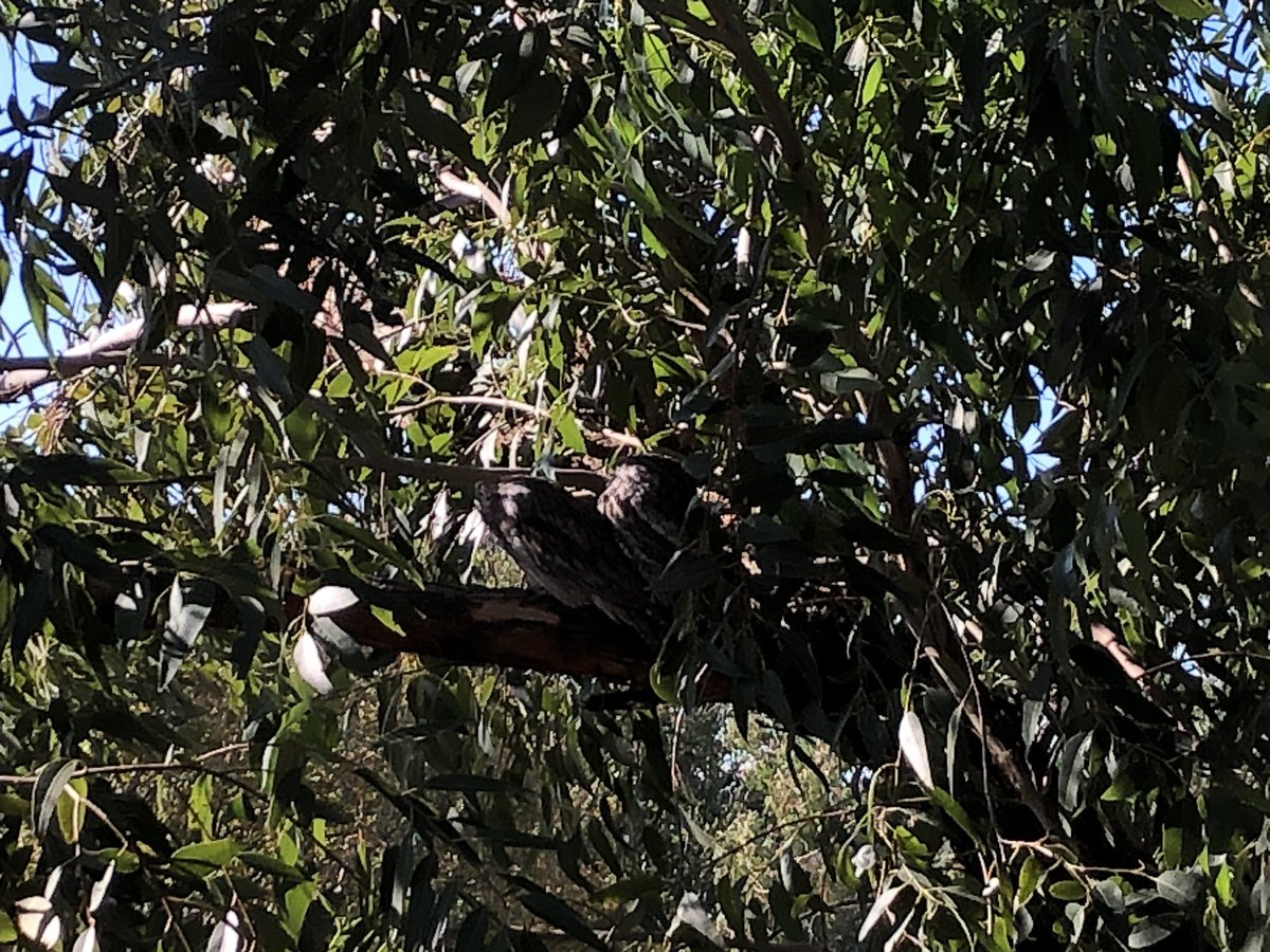 Year 5/6 students at @beresfordrdps showed me their resident tawny frogmouths in the tree just outside their window. Can you spot them?We also did a bird survey in the remnant Cumberland Plain Woodland as a part of Communities Environment Program @UrbanBirdsOz @BirdlifeOzpic.twitter.com/SHJeE55hpk
