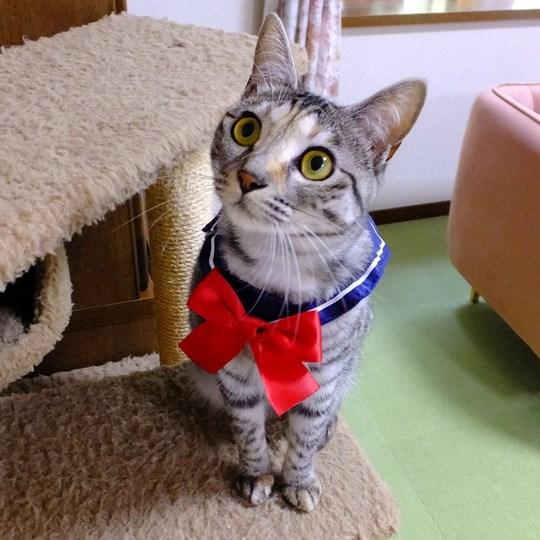 美少女戦士・きららムーン🐱⋆☪ ⑅♡*゜ポヤポヤの子猫がキレイなお姉さん猫に! キジトラ猫・きららちゃんの成長に驚き -  @itm_nlabzoo