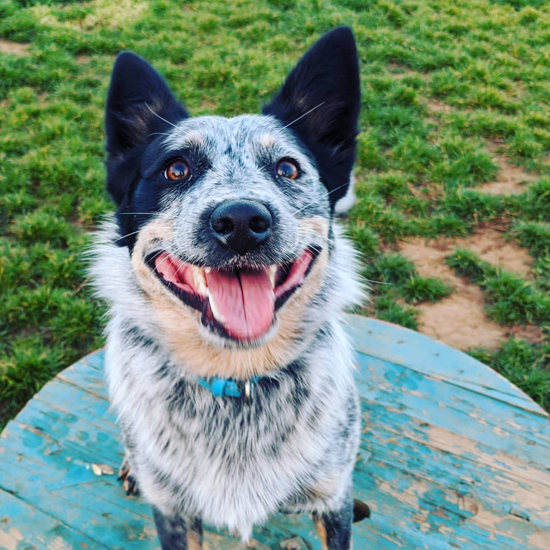 for a Maggie Doyle #pupdate from her foster mum head to our Facebook or Instagram 😊  #Mags4Lyfe #buildingtrust4lyfe #rescuesaveslives #blueheeler #fosterdog #proudfostermum #luckiestgirlintheworld