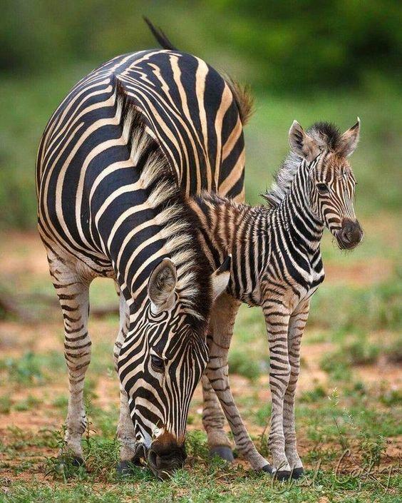 Ah #Nature  Your #baby animal World is so #beautiful ... Zebras pic.twitter.com/2dGRazXjLq