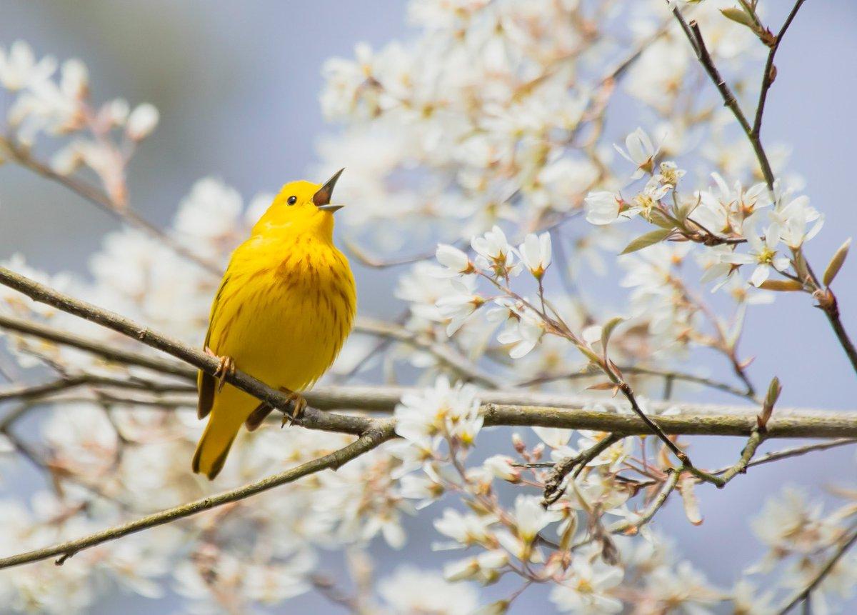 #PostABird #BlackBirdersWeek yellow warbler singing