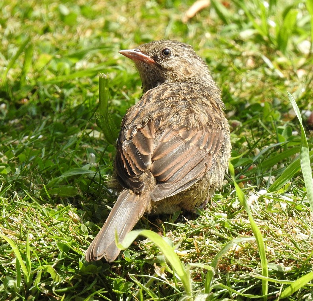 """""""Are you talking to me!""""...Juvenile Dunnock in my garden giving me the look   #TwitterNatureCommunity #nature #wildlifephotography #photographypic.twitter.com/7Mga8KOZwq"""