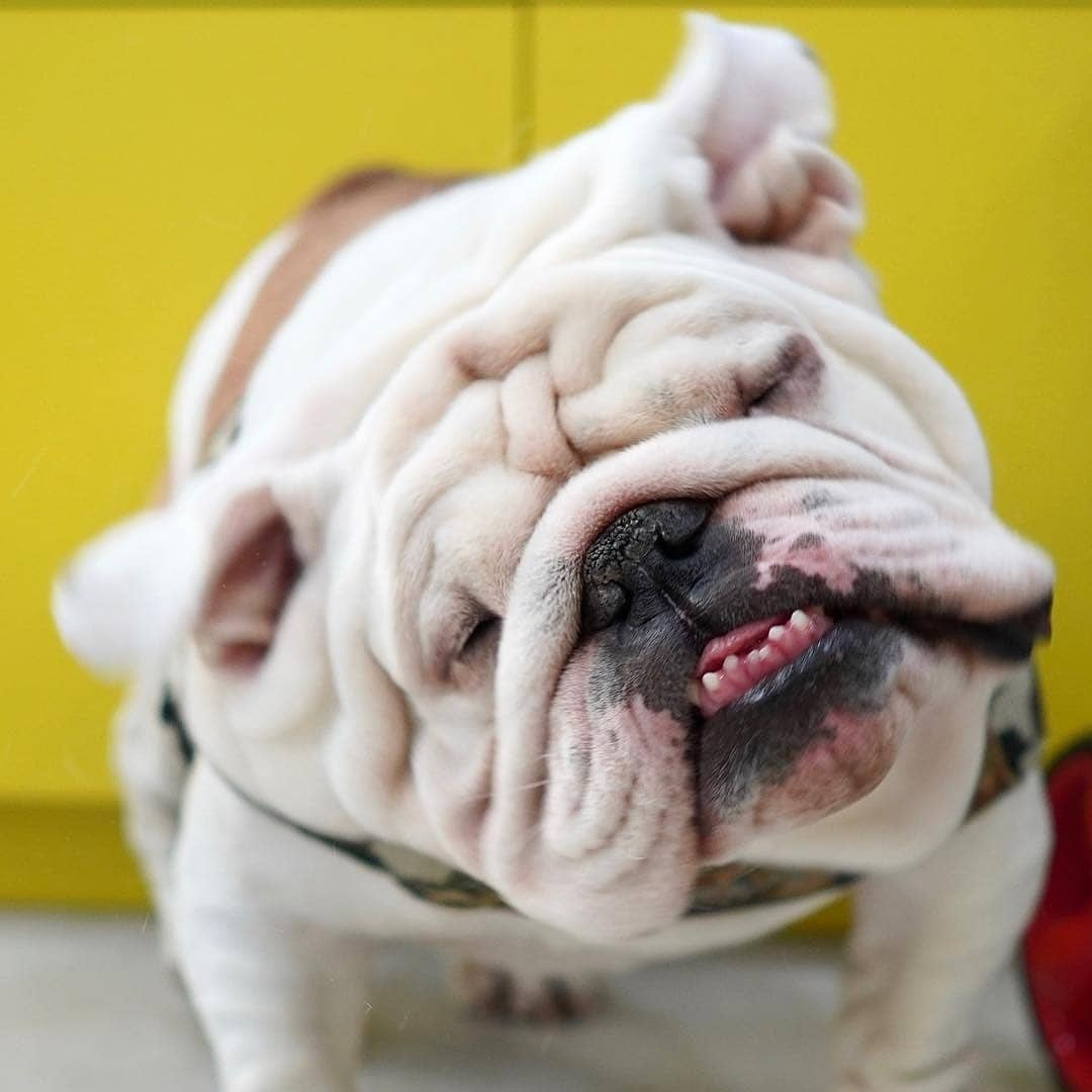 Do I look pretty in slow-mo? Y/N   #Bulldogs #englishbulldog #bulldogsoftwitter #bulldogworldwoide #bulldogpuppies #me pic.twitter.com/G8qabgUpvI