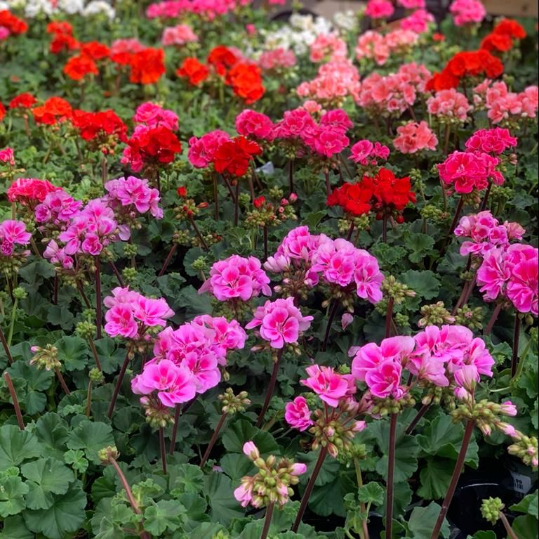 While they remain one of the most popular garden bedding plants, 𝗚𝗲𝗿𝗮𝗻𝗶𝘂𝗺𝘀 are also commonly grown indoors and hanging baskets!   Purchase yours at #CrimpleHall for £4.49.   Visit us in-store or email enquiries@crimplehall.co.uk for delivery enquiries.pic.twitter.com/jmXaCoofj5