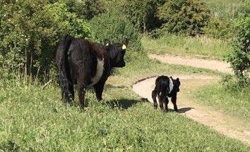 Weer een Galloway kalfje geboren in het Buytenpark. De derde dit jaar.
