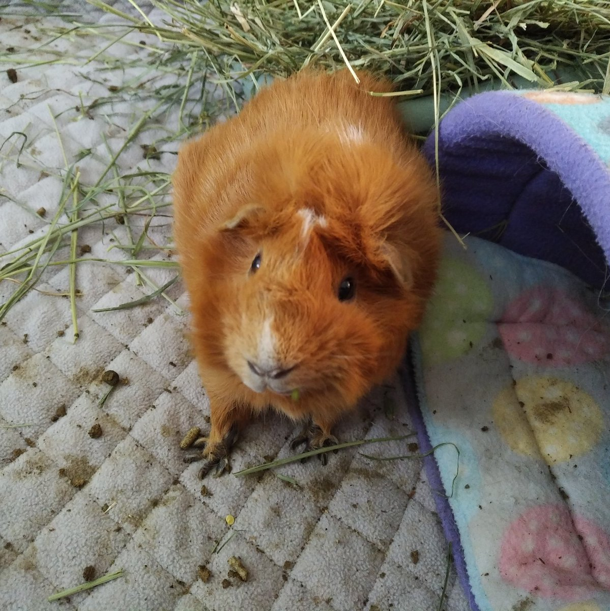 Remember when Red was a foster pig? Lol. Who are we kidding anyway, Mama always knew he was home  #RedLove #guineapig #mondaythoughts #MondayMorning #cute #fluffy #animalspic.twitter.com/jqpXi6a5bz