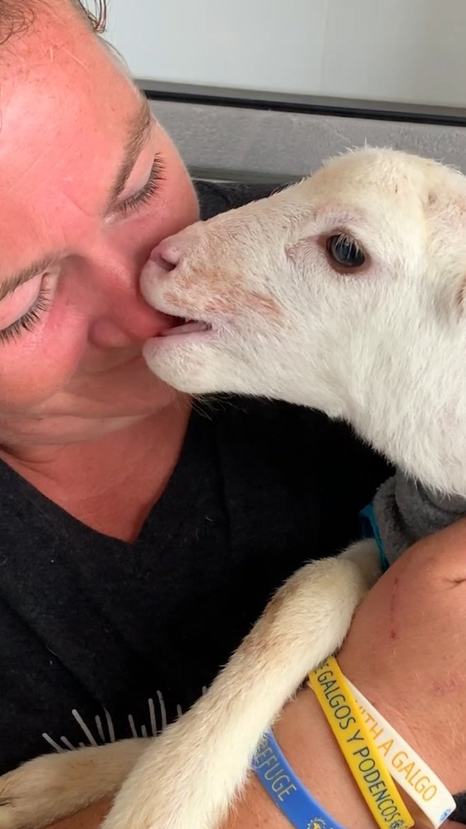 Tiny, feisty lamb grows up in a house 🧡