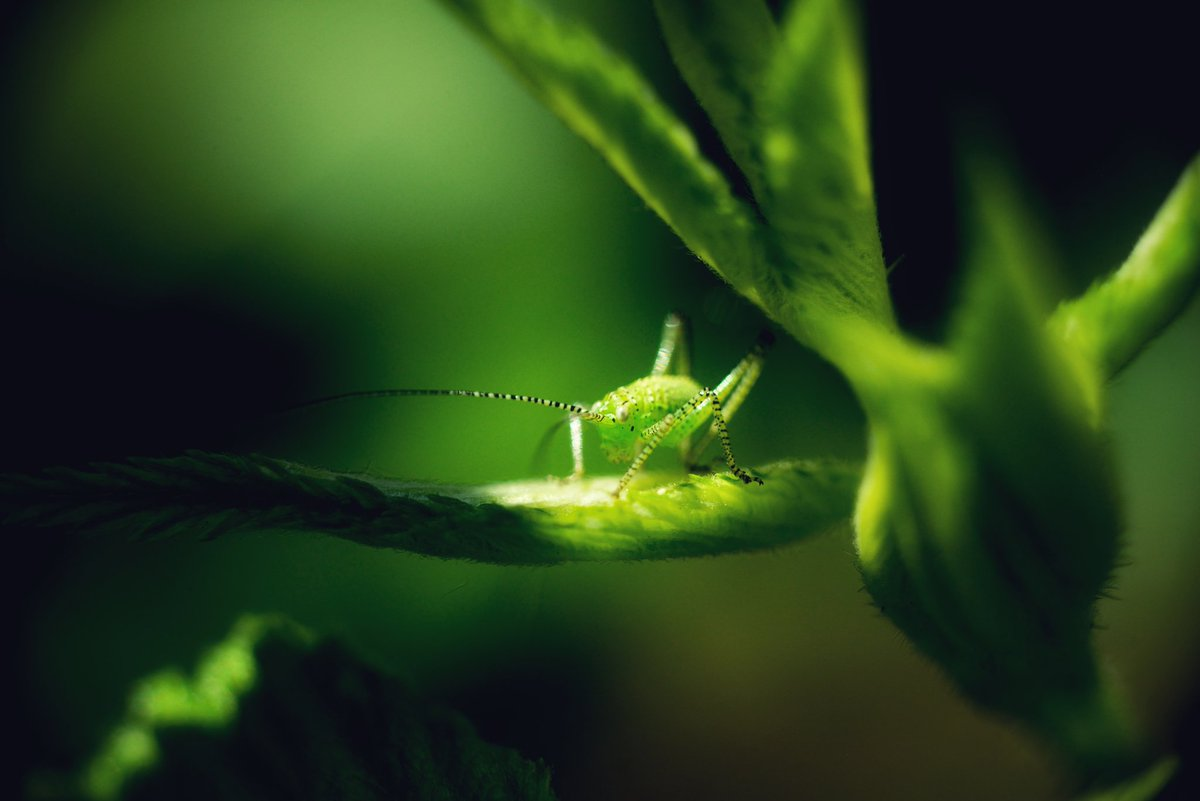 In the limelight. These baby crickets are so cute #photooftheday . pic.twitter.com/qHsZBJYM68