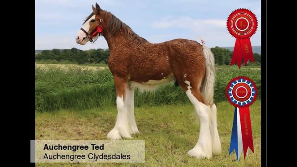 Dillars online show 2020 saw yearling colt Auchengree Ted take male champion out of 170 entries! pic.twitter.com/uXpvELlUYw
