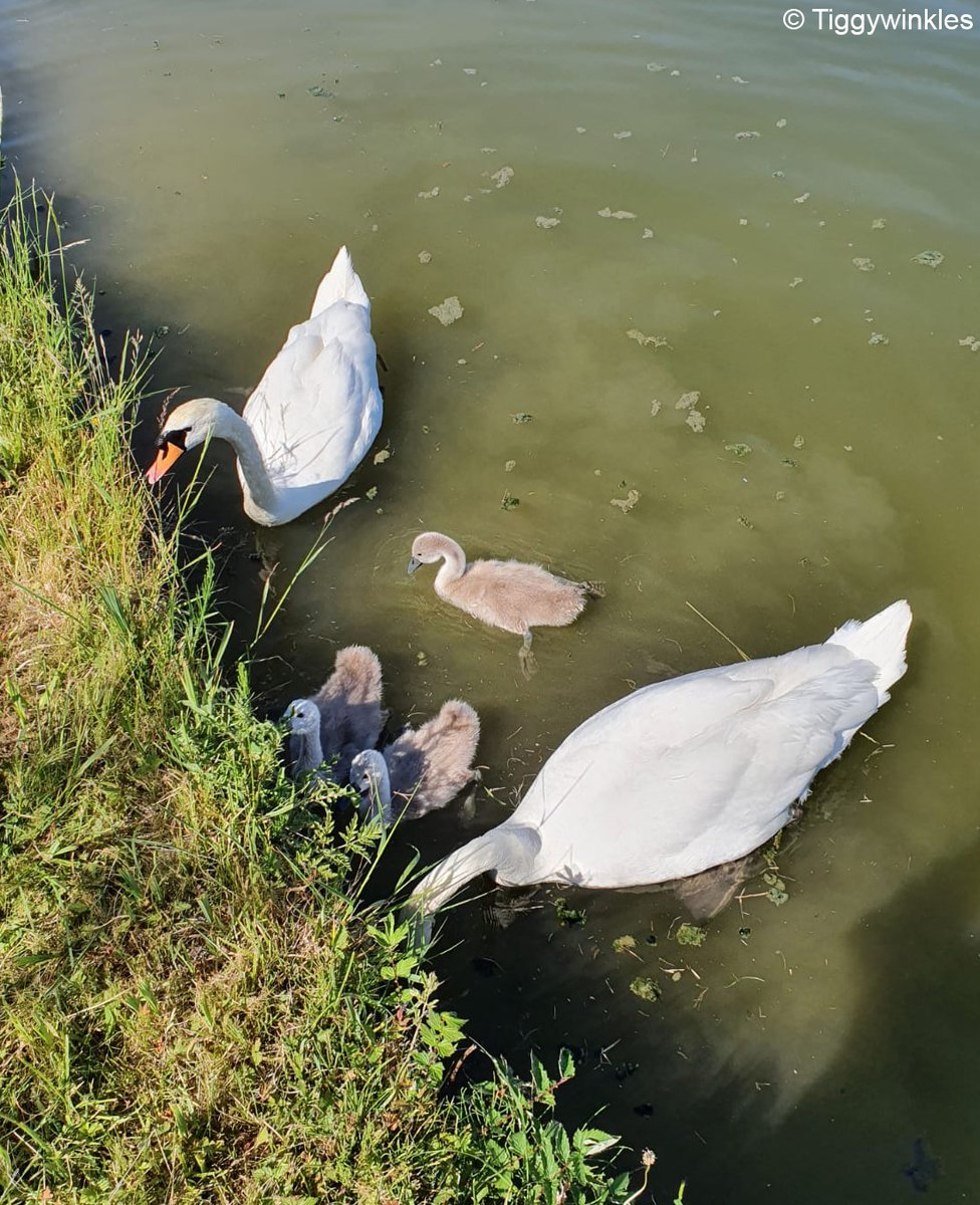 Last week we took in a cygnet who had fishing line stuck down her throat. We were able to safely remove the line and fortunately the cygnet was uninjured. A volunteer who released the cygnet took this sweet photo of her being reunited with her family!