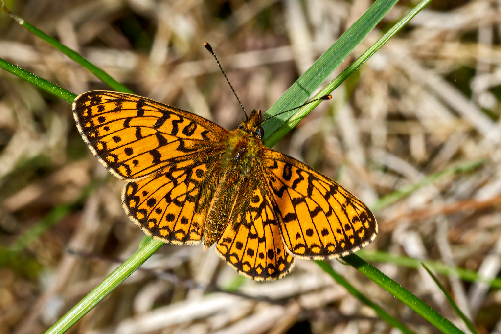 Small Pearl-bordered Fritillary (Boloria selene) Taken on Cannock Chase, Staffordshire, UK 01/06/2020 @ukbutterflies @BC_WestMids @StaffsWildlife  #SmallPearlborderedFritillary #BoloriaSelene #cannockchase https://t.co/xBoWbUQckh
