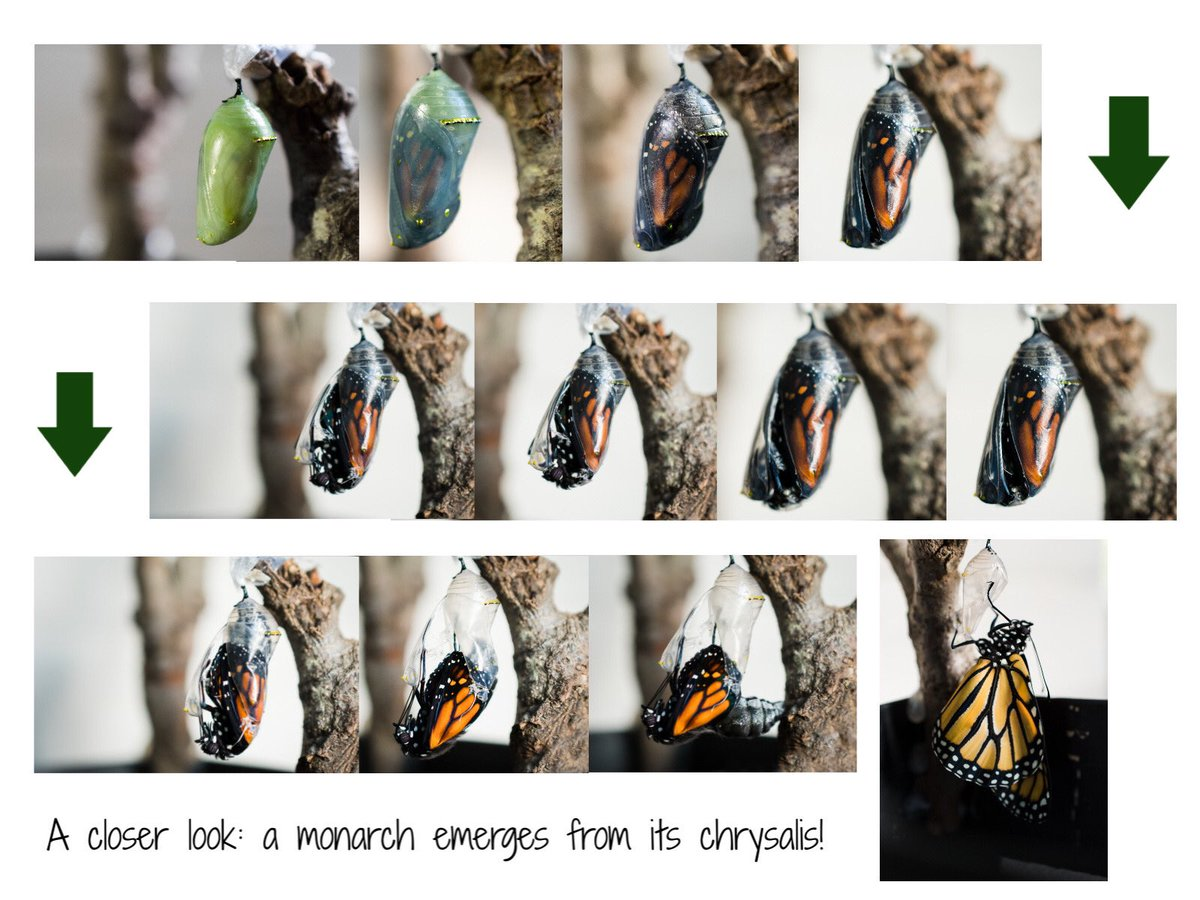 Again, with so much heaviness in the world right now, I hesitate to post something as frivolous as a butterfly. The monarch emerging is so beautiful, though, that I can't help but share it. #monarchbutterfly https://t.co/I72KaYLgQF