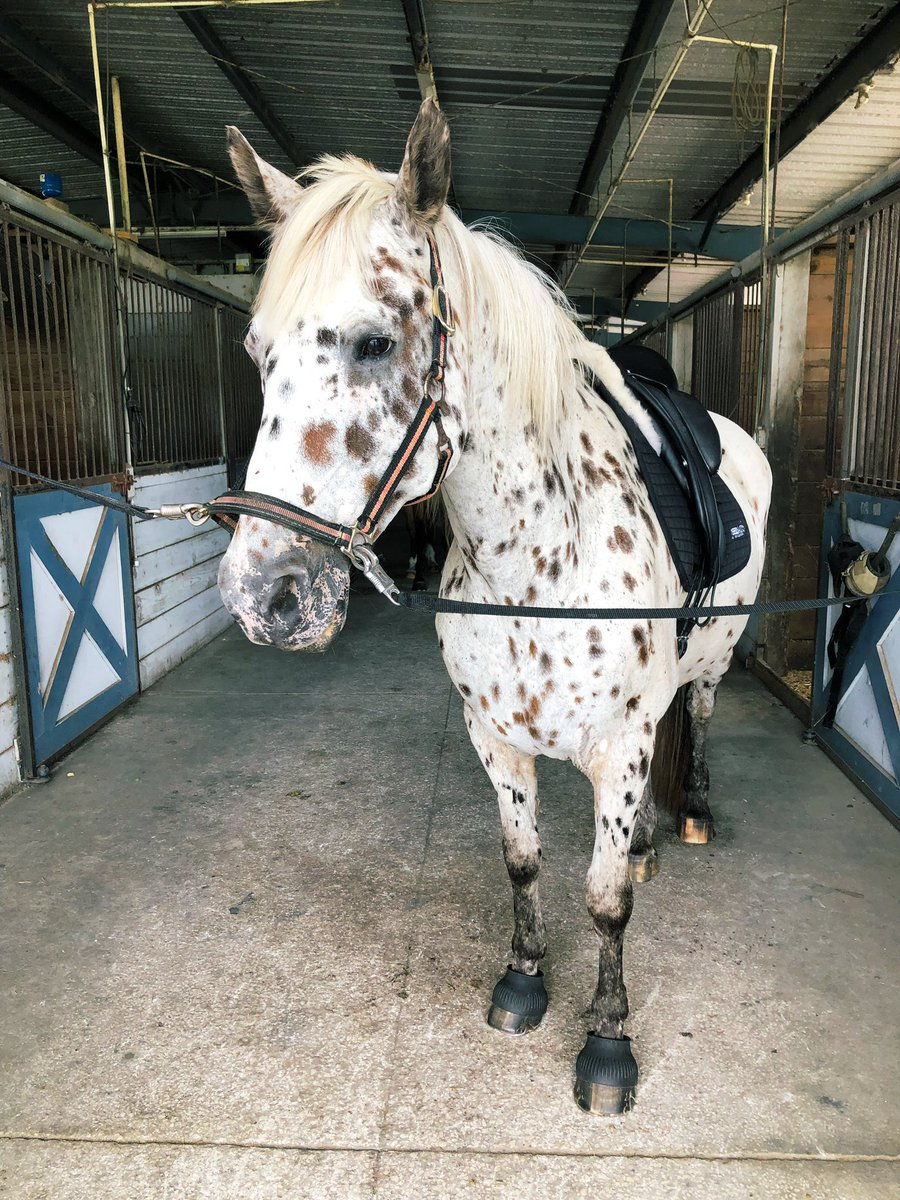 my first day of being a working student has kicked my ass and it's not even over yet. anyway here's Buca, cutest little dressage horse there ever was pic.twitter.com/DPYQHN0LqT