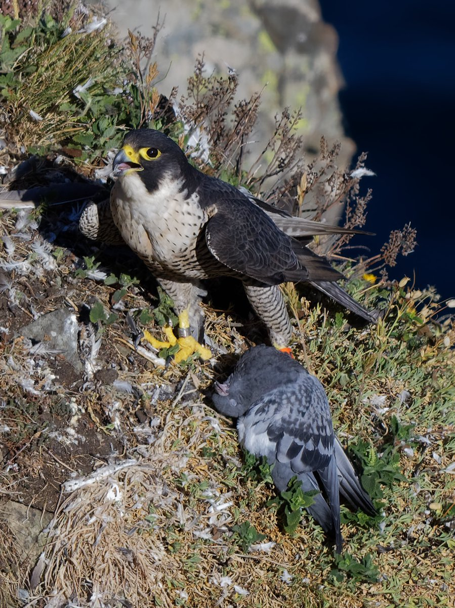 Peregrine Falcon, with feral Pigeon catch #isleofman #nature pic.twitter.com/6XgQXbxE41