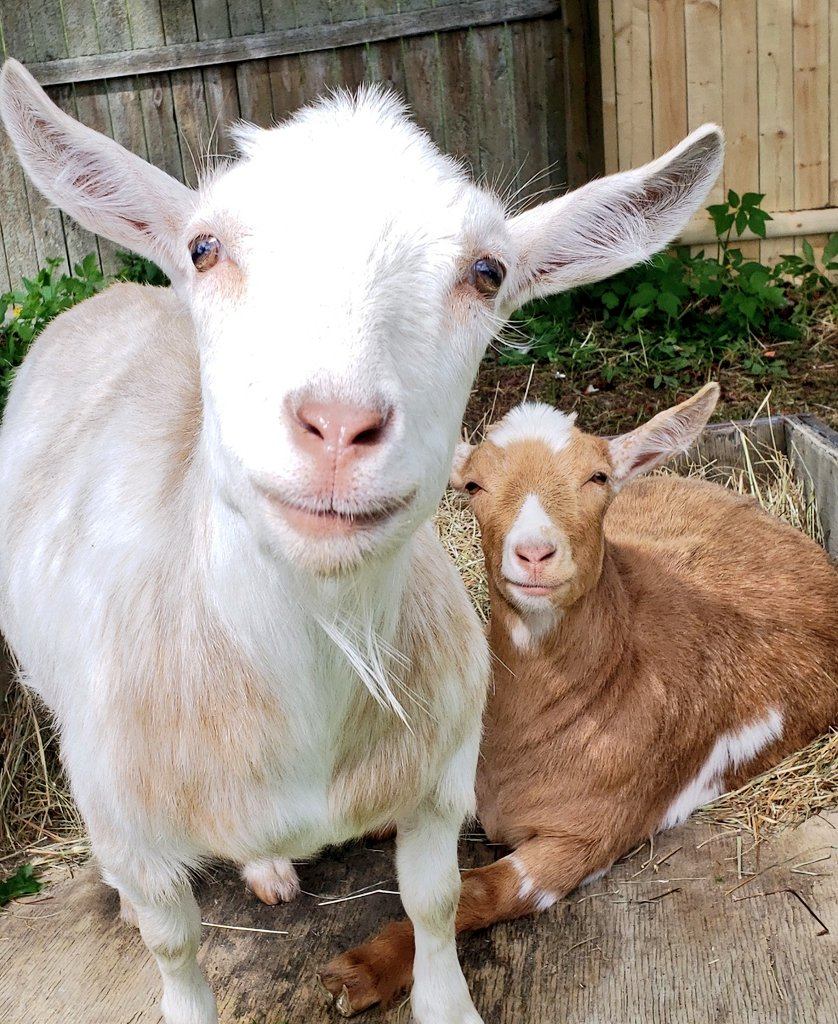 The sun is coming out! #goats have more #fun in the #sun!pic.twitter.com/ske39DdFnW