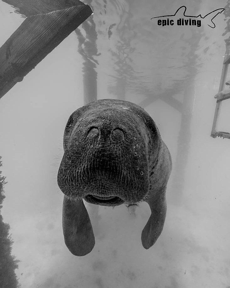 Manatee Monday! #manatee #manateelove #tigerbeach #tigershark #sharkdive #tigersharks #divewithsharks #discoverocean #dive #scubadiving #savesharks #sharkconservation #travel #uwpics #uwphoto #uwphotograpy #nauticam #underwaterphotography #savesharkspic.twitter.com/V2i2wP28yI