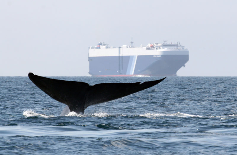 Fifteen global shipping companies slowed cargo ships off California coast to protect blue #whales and blue skies #green #GreenParty #environmental #GlobalWarming