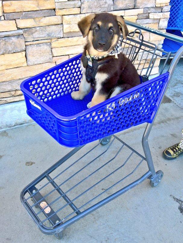 Someone has a birthday this month  #BabyMoose #K9Garm #SARK9 #dogsoftwitter #dog #dogs #germanshepherd #gsd #moosedog #FaMoosepic.twitter.com/41XbyNG5U4