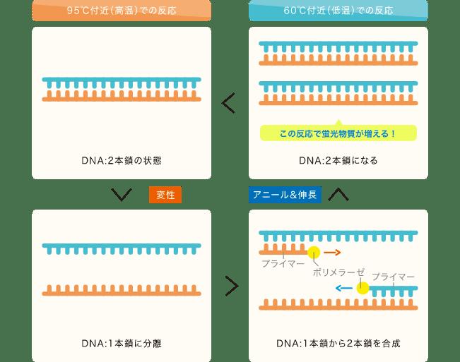 PCR法とは、あるDNAに特異的に反応するプライマーという試薬を用いて、調べたいDNAを2倍に増やす操作を繰...