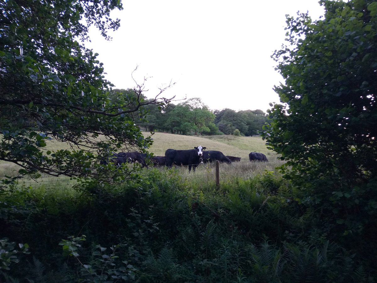 Out for my evening #Drakeford. A cow is staring me out.