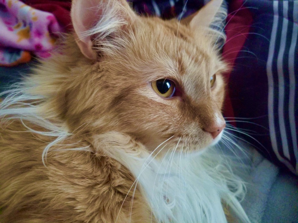 Mom and Dad say I'm a handsome boy would you agree?  #LordTaters #CatsOfTwitter #CatsOnTwitter #cat #kitty #floof #fluffy #orangecatpic.twitter.com/Uxd5dfQK6K