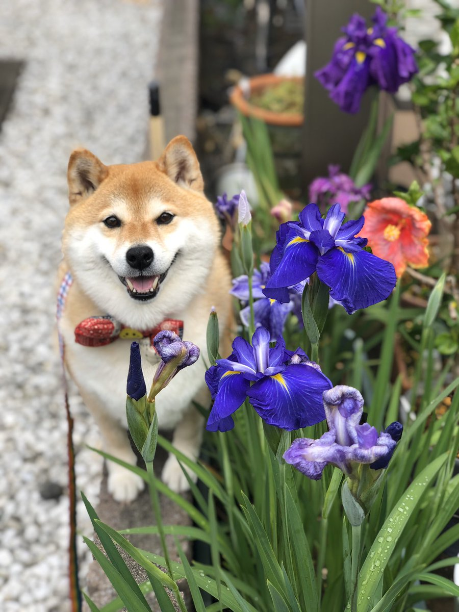 菖蒲4色でした💁♀️キレイキレイ❁¨̮来年も咲くのかな?
