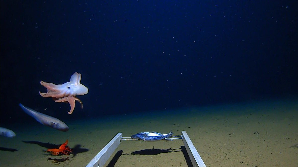 This is a photo of the deepest-living octopus on Earth